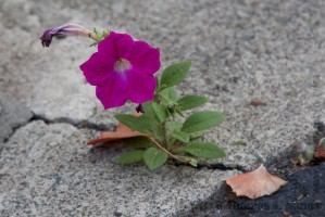 Flower growing through concrete